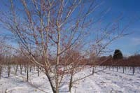 Crataegus viridis 'Winter King'