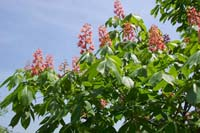 Aesculus x carnea 'Ft. McNair'